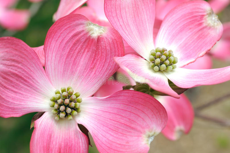 Rosafarbener blühender Hartriegel lizenzfreie stockbilder