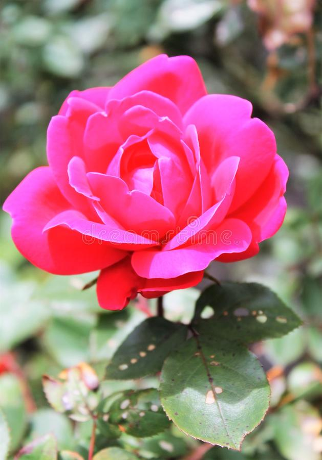 Rosafarbener Blumengarten des Frühlinges recht stockfotografie