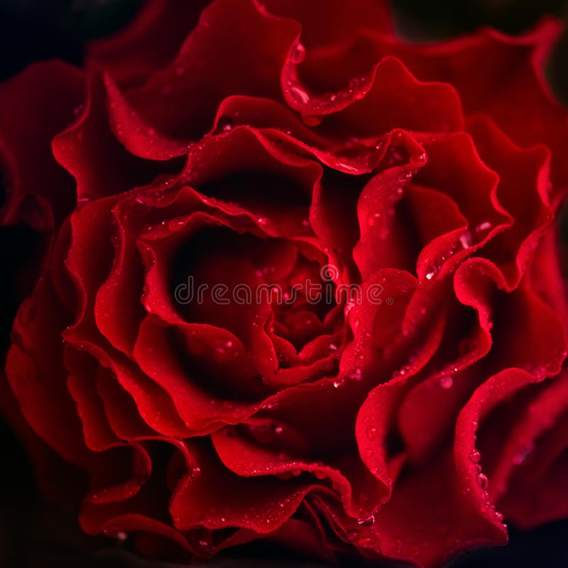 Rosafarbener Blumenhintergrund der Zusammenfassung Blumen gemacht mit Farbfiltern Dunkelroter Hintergrund lizenzfreie stockfotografie