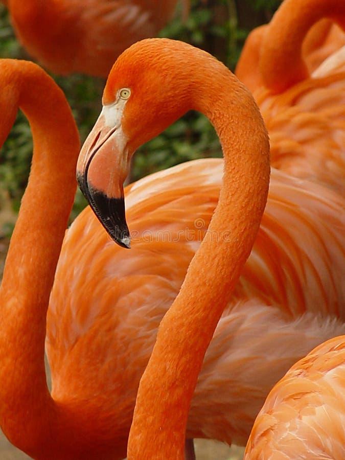 Download Rosafarbener Flamingo stockfoto. Bild von kurven, klassisch - 41148