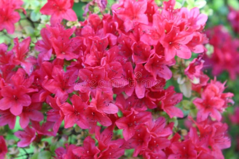Rosafarbener Frühling stockfoto