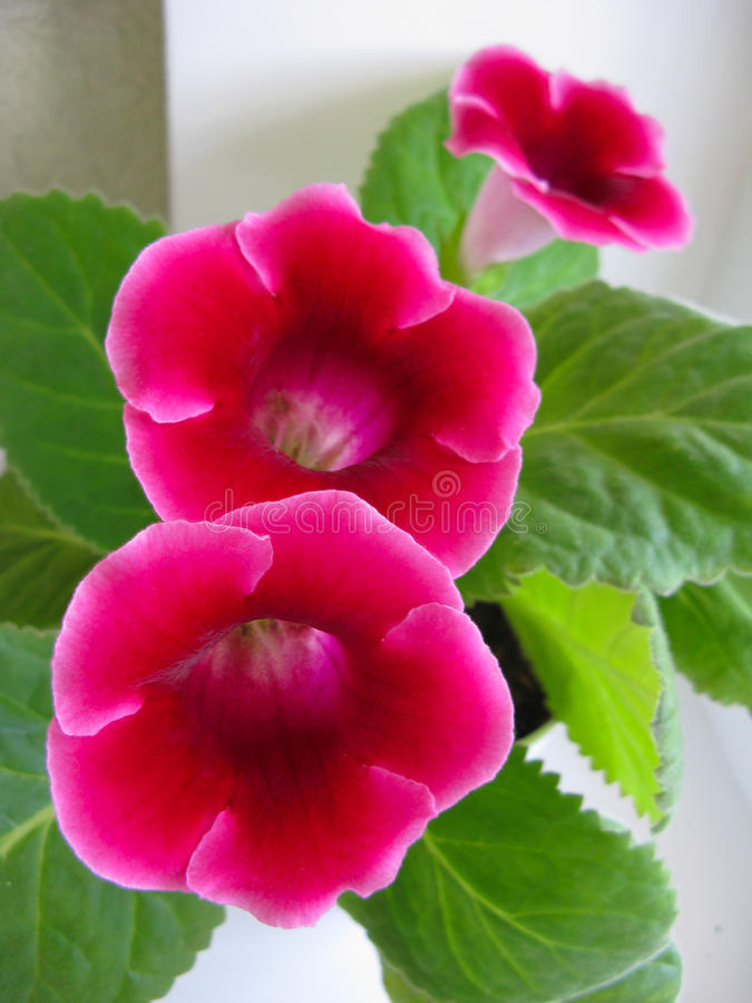 Rosafarbener Gloxinia lizenzfreie stockfotos