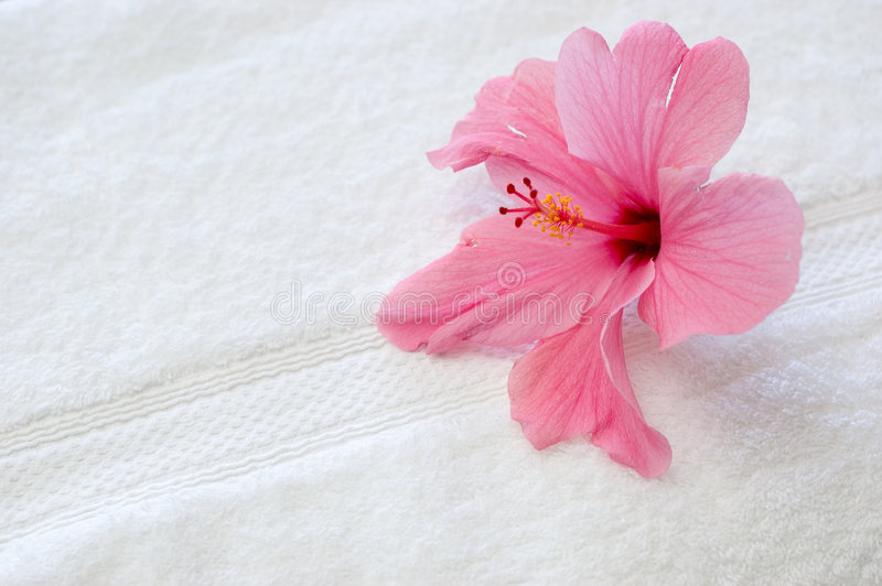 Rosafarbener Hibiscus lizenzfreie stockbilder