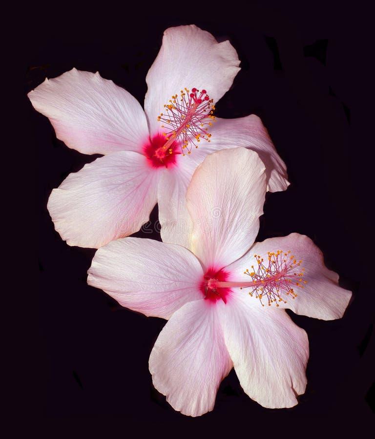 Rosafarbener Hibiscus auf Schwarzem lizenzfreie stockfotografie