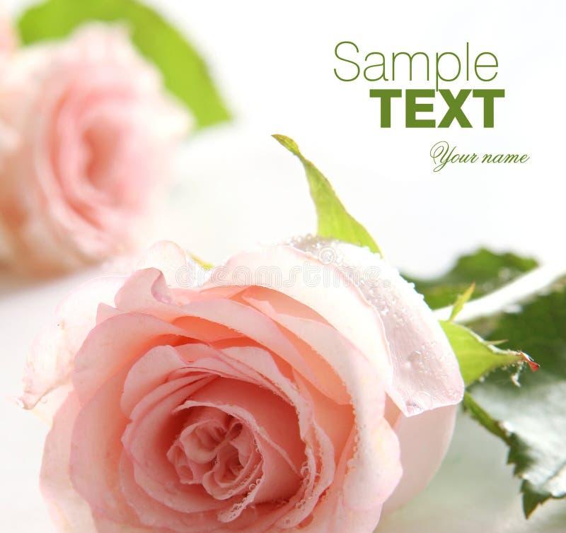 Rosafarbener Hintergrund des Rosas lizenzfreies stockbild