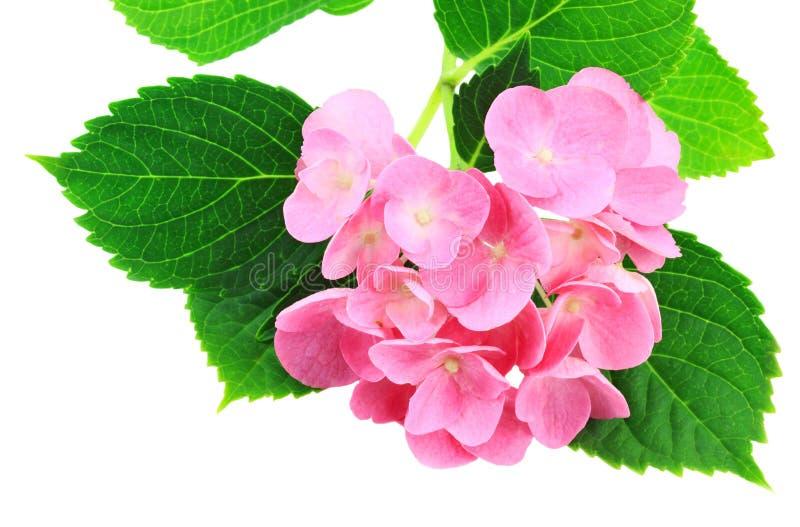 Rosafarbener Hydrangea lizenzfreie stockbilder