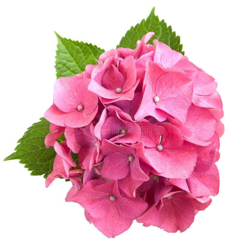 Rosafarbener Hydrangea lizenzfreies stockbild