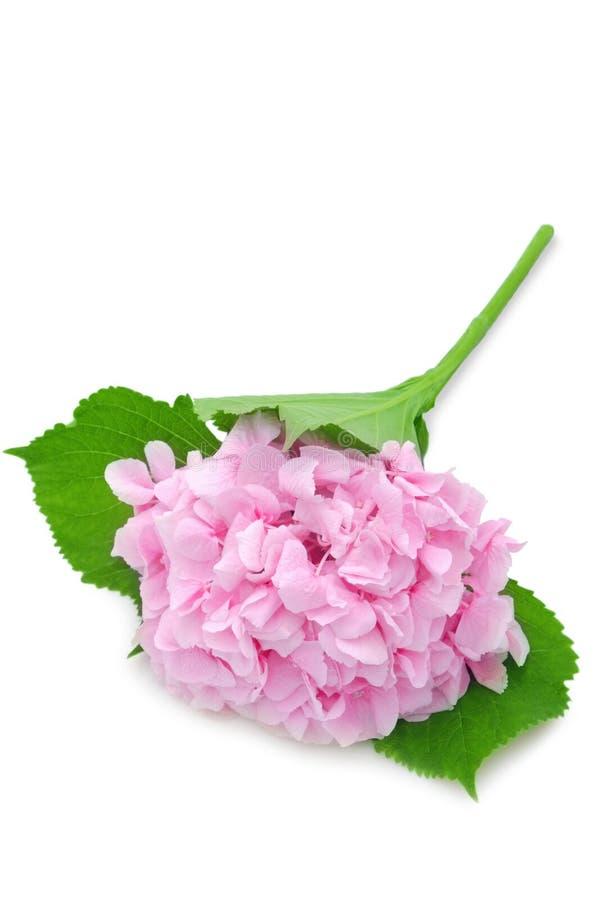 Rosafarbener Hydrangea stockbild