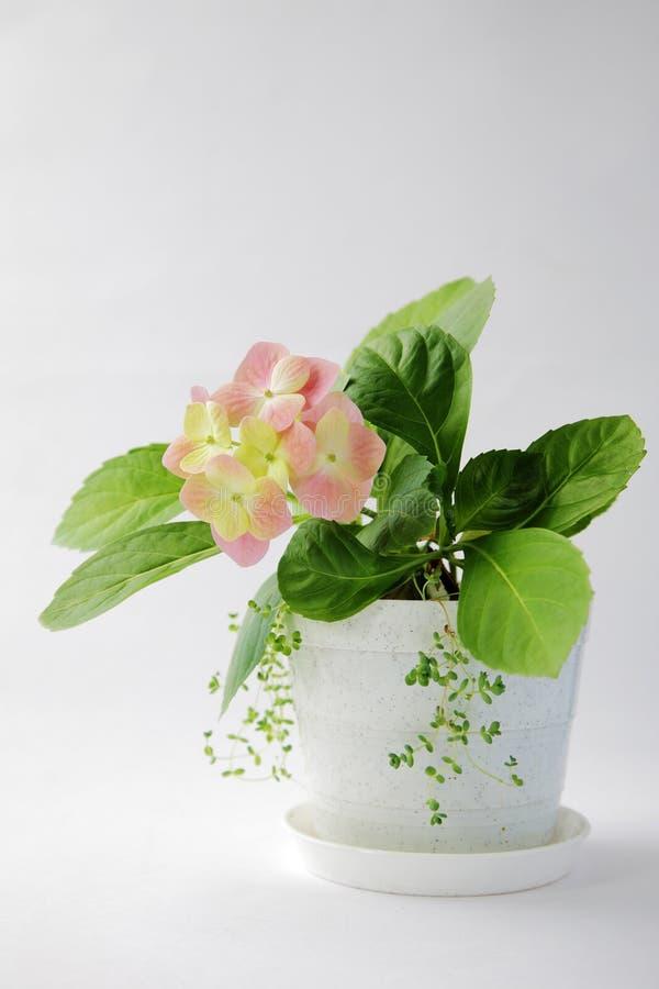 Rosafarbener Hydrangea stockfotos