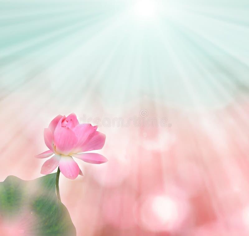 Rosafarbener Lotos lizenzfreies stockbild