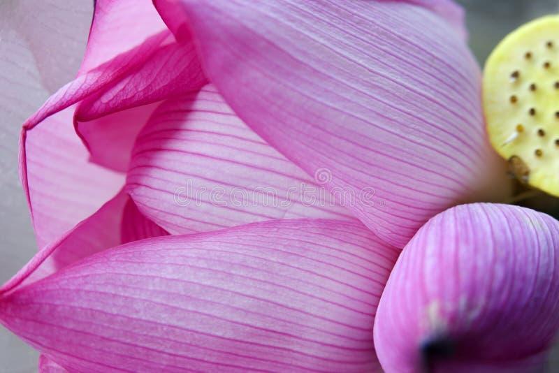 Rosafarbener Lotos-Blumenblatt-Knospe-Hong- Kongblumen-Markt lizenzfreie stockbilder