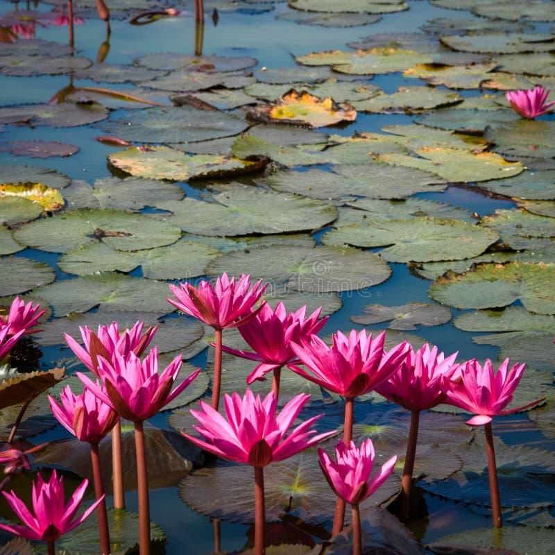 Rosafarbener Lotos im Teich stockbilder