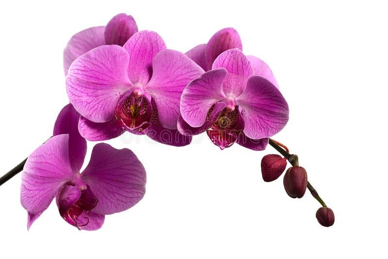 Rosafarbener Orchideezweig getrennt auf Weiß lizenzfreie stockfotos