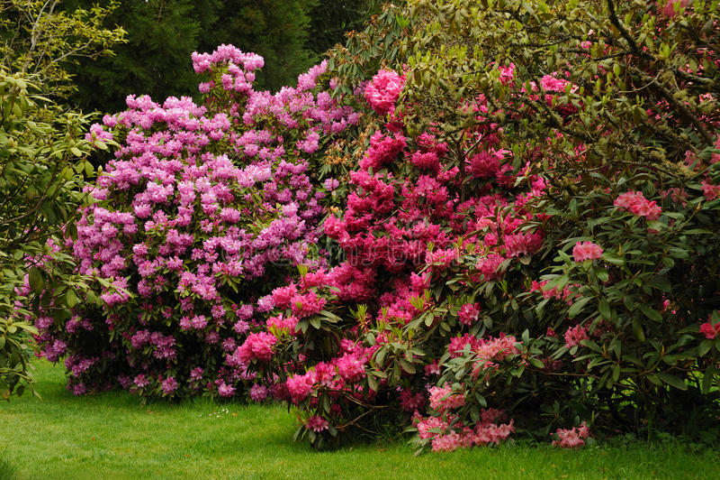 Rosafarbener Rhododendron stockfotos