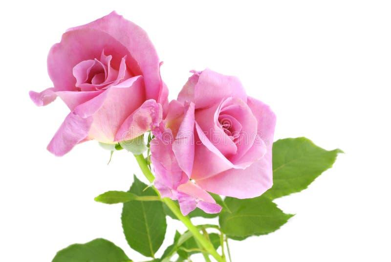 Rosafarbener Rose-Weiß-Hintergrund Stockbilder