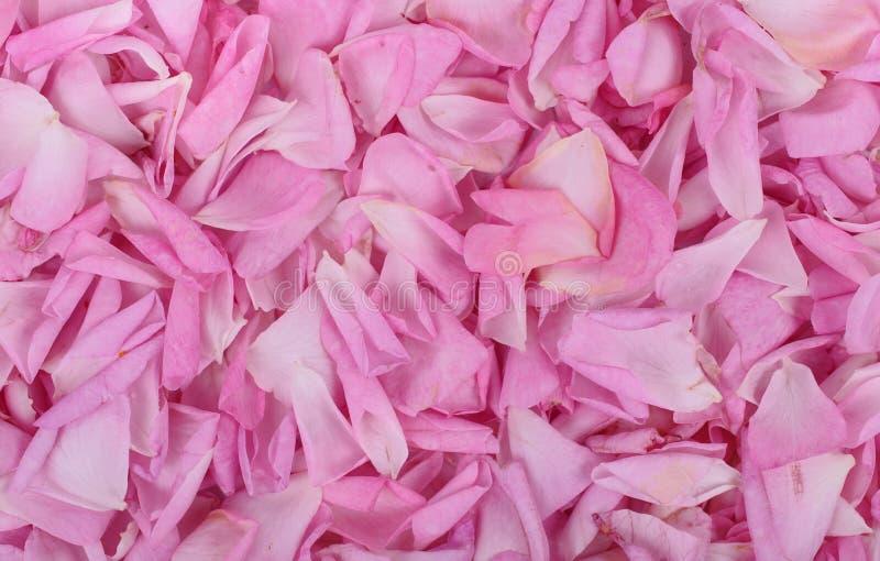 rosafarbener Rosen-Blumenblathintergrund lizenzfreie stockfotos