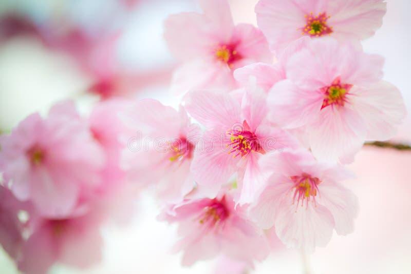 Rosafarbener Sakura 04 stockfotos