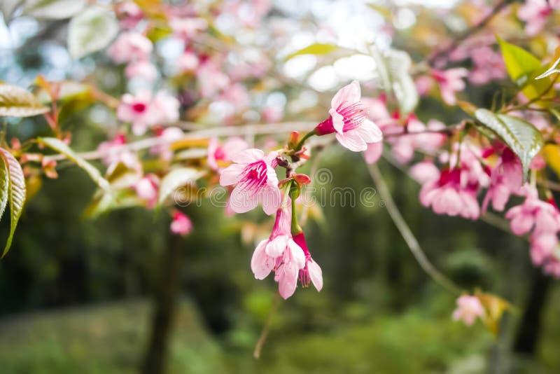 Rosafarbener Sakura in Thailand stockfoto