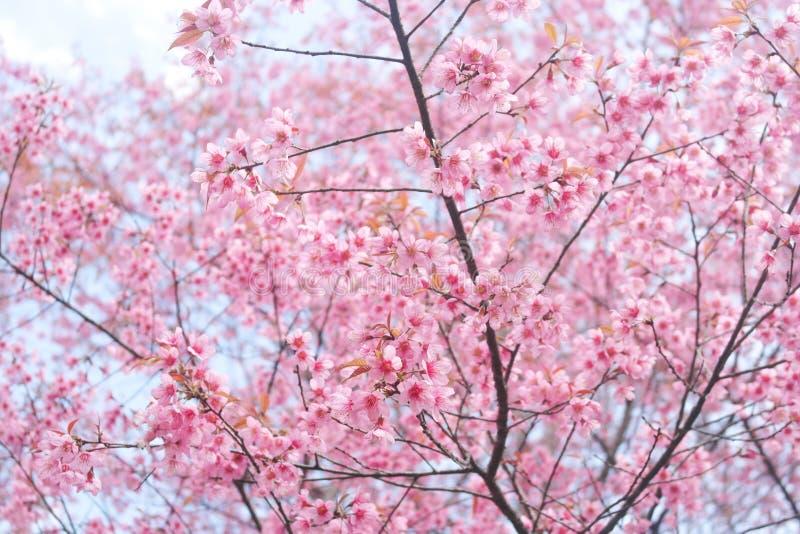 Rosafarbener Sakura in Thailand stockbilder