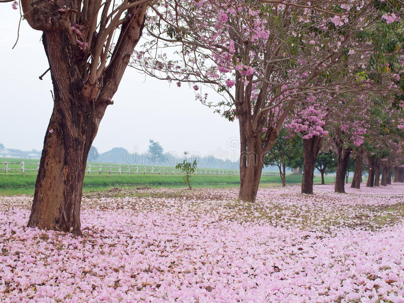 Rosafarbener Trompetebaum stockfotos