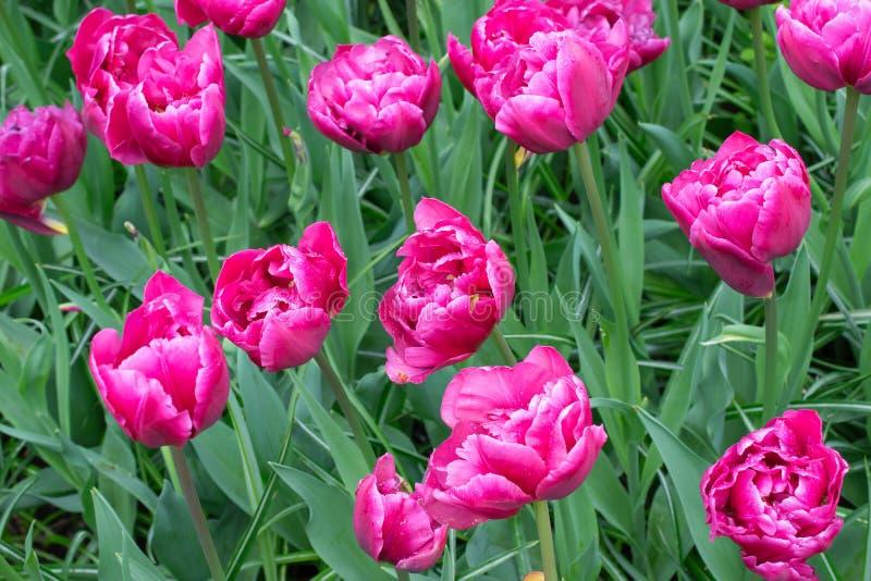 Rosafarbener Tulpehintergrund lizenzfreies stockfoto