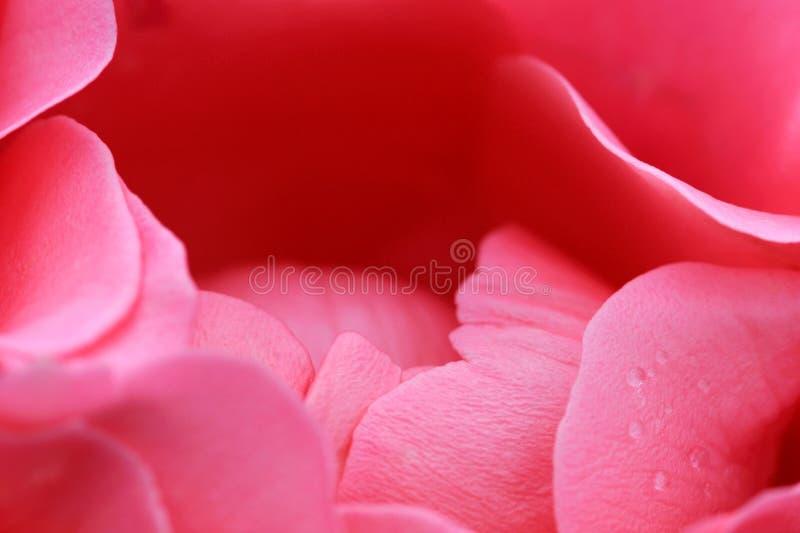 Rosafarbenes Blütenmakro des Rosas lizenzfreie stockbilder