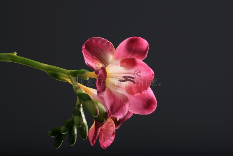Rosafarbenes fresia stockbild