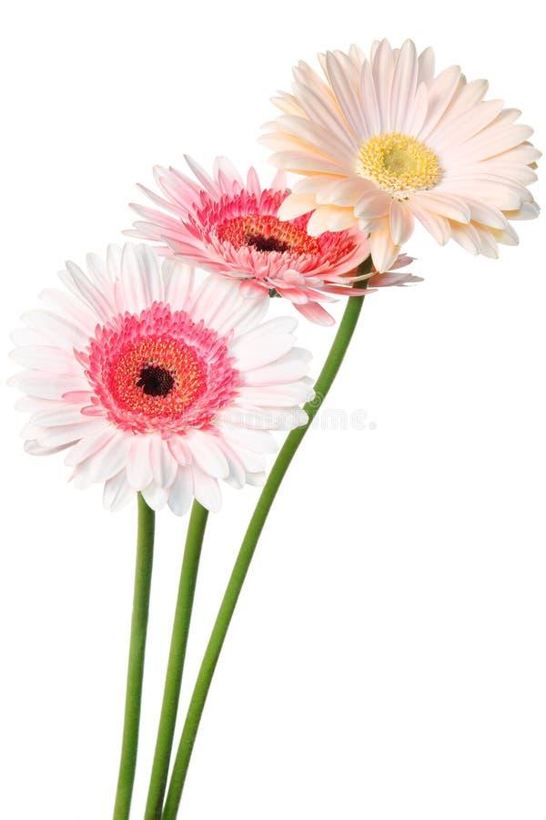Rosafarbenes Gänseblümchen lizenzfreie stockfotos