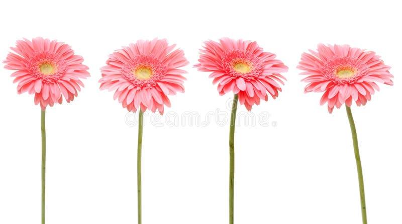 Rosafarbenes Gänseblümchen vier lizenzfreie stockfotos