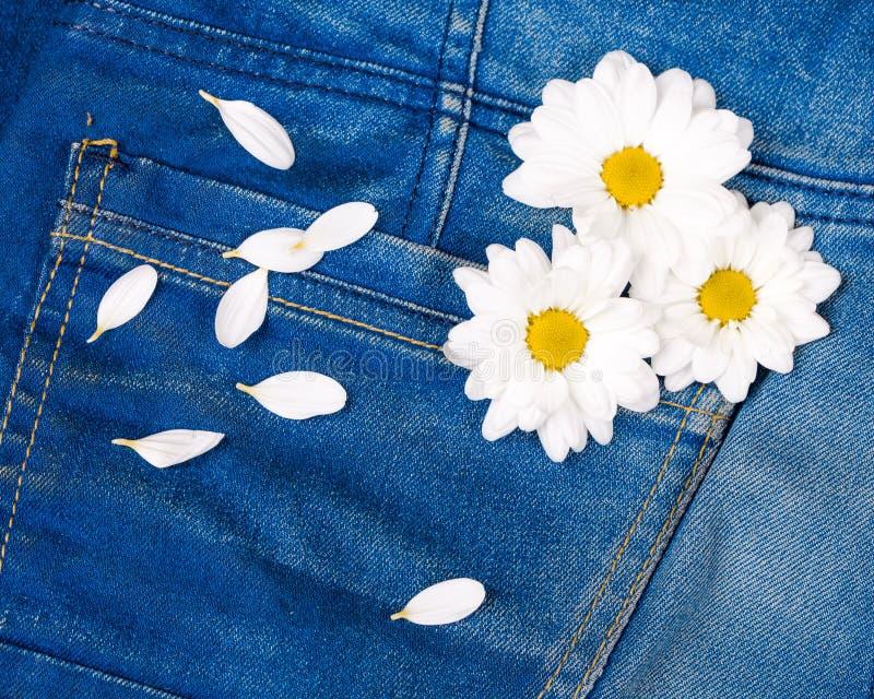Rosafarbenes gerber in der Jeanstasche lizenzfreie stockfotos
