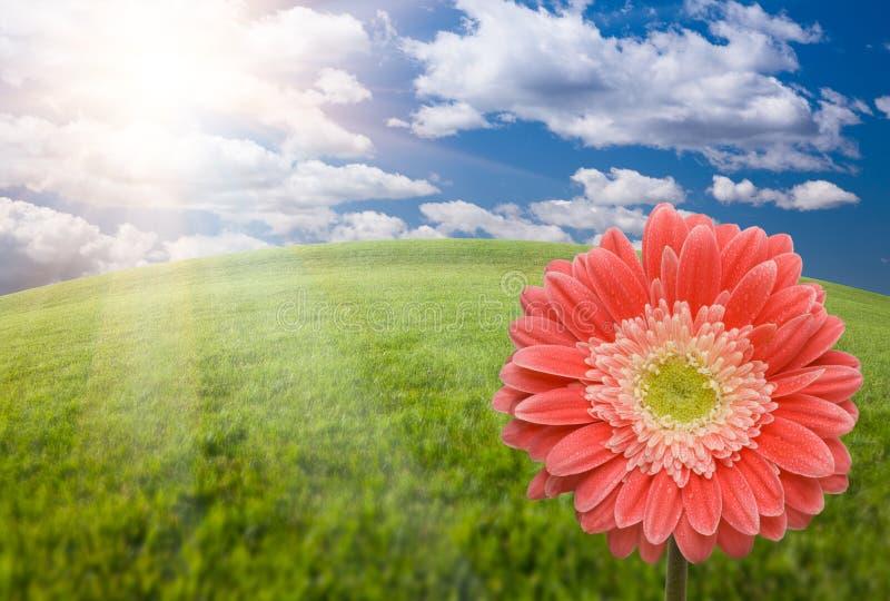 Rosafarbenes Gerber Gänseblümchen über Gras-Feld und Himmel lizenzfreie stockfotografie