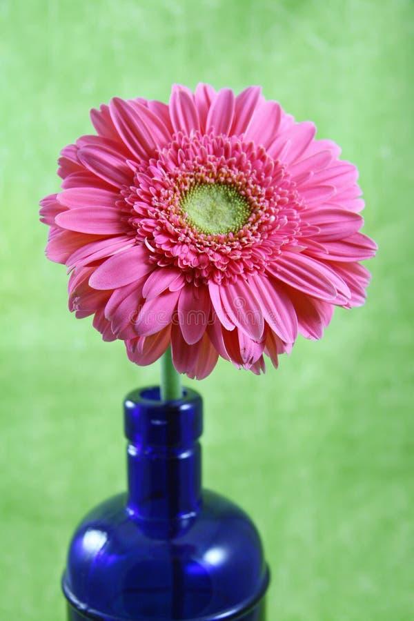 Rosafarbenes Gerber Gerbera-Gänseblümchen lizenzfreies stockbild