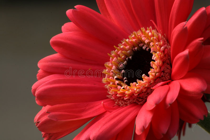 Rosafarbenes Gerbera-Gänseblümchen lizenzfreies stockfoto