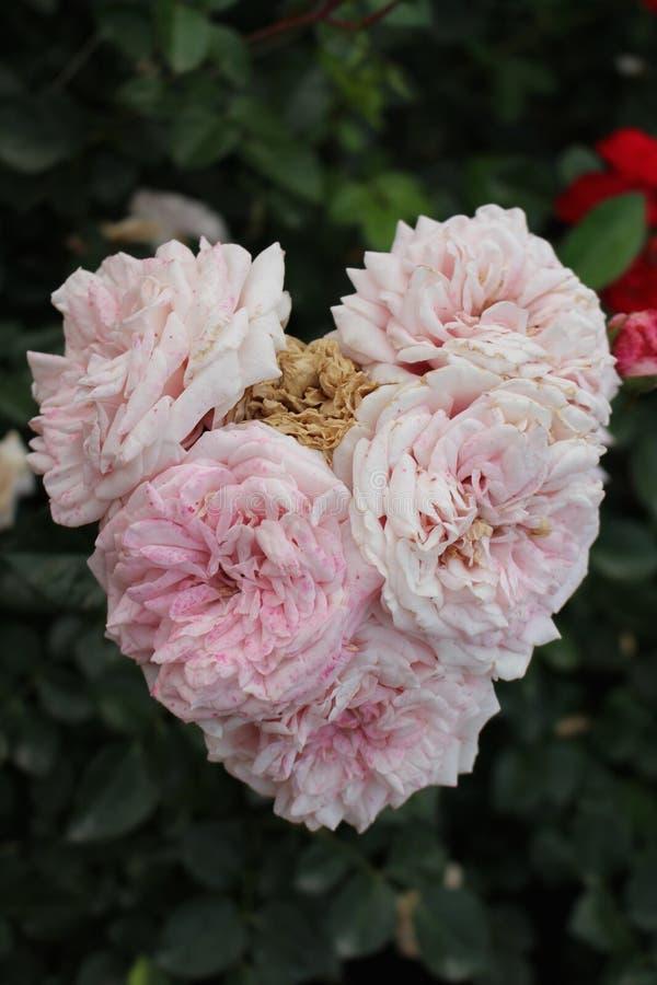 Rosafarbenes Inneres des Rosas lizenzfreie stockfotografie