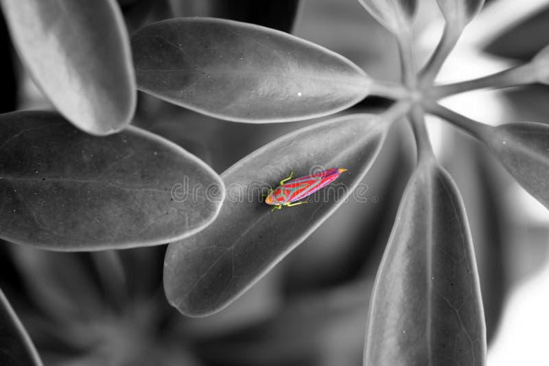 rosafarbenes Insekt lizenzfreie stockfotografie
