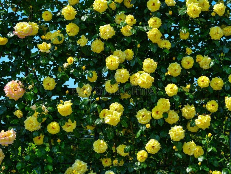 Rosaleda en el parque de Ashikaga en Japón foto de archivo libre de regalías