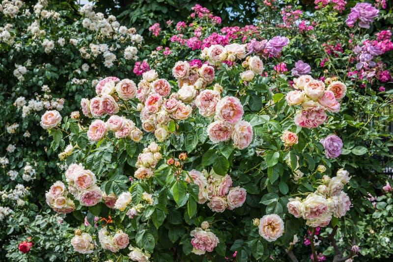Rosaleda multicolora hermosa en verano imagen de archivo