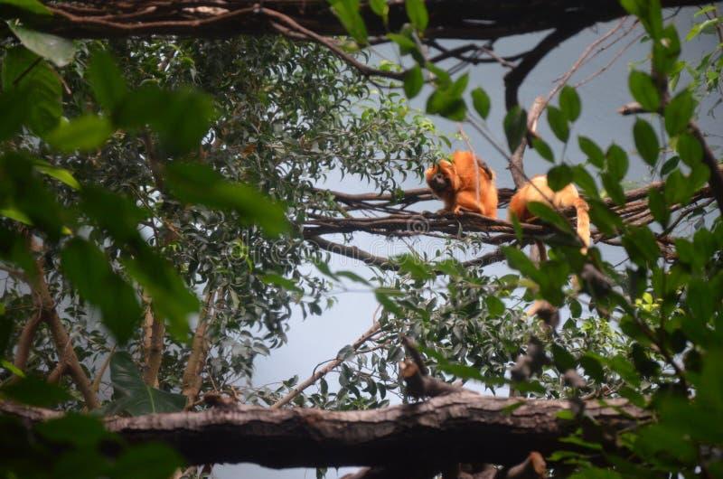 Rosalia dourado do leontopithecus do tamarin do le?o fotos de stock royalty free