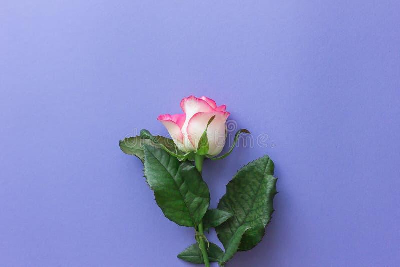 Rosarose auf einem lila Pastellhintergrund lizenzfreie stockbilder