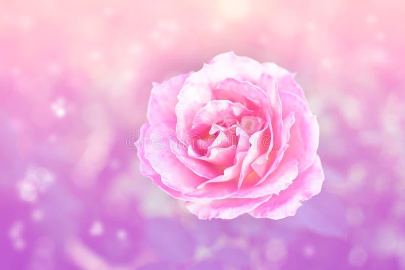 Rosarose auf Unschärfehintergrund lizenzfreie stockbilder