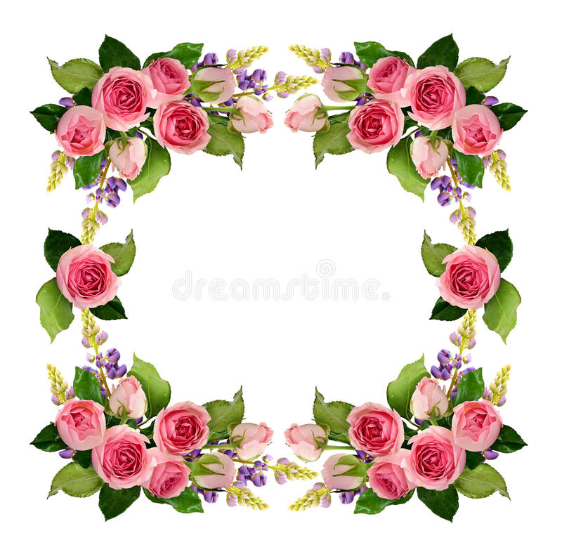 Rosarose blüht und knospt Rahmen stock abbildung