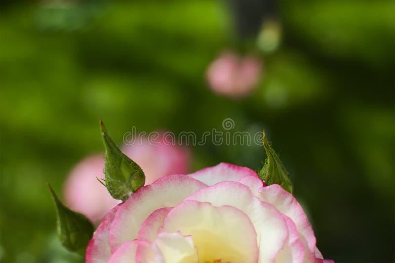 Rosarose Garten im im Freien Metapher f?r Sanftheit, Kultiviertheit, Eleganz stockbilder
