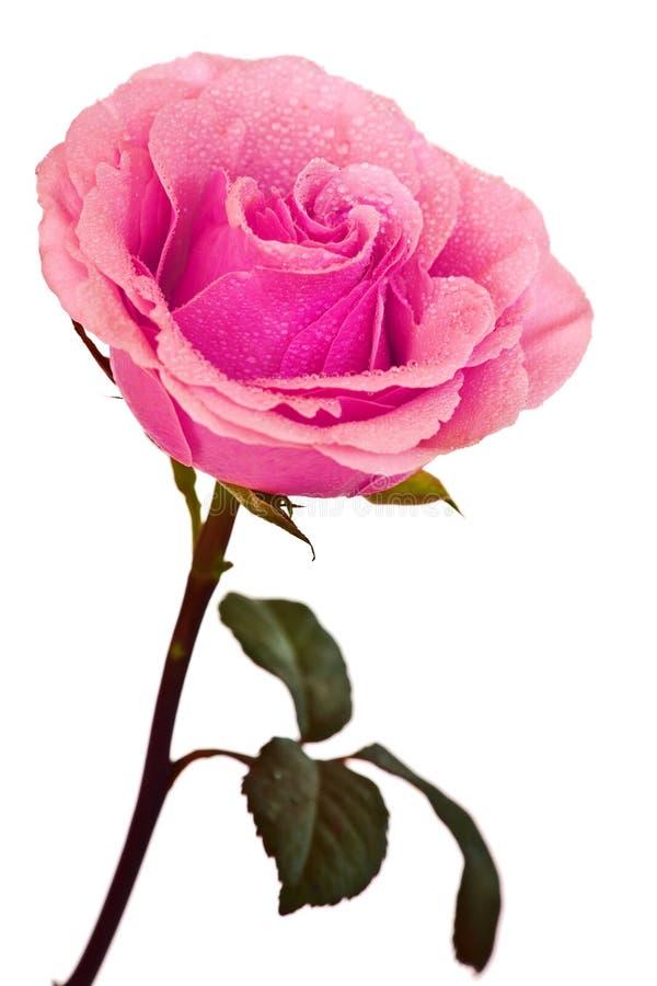 Rosarose getrennt stockfoto