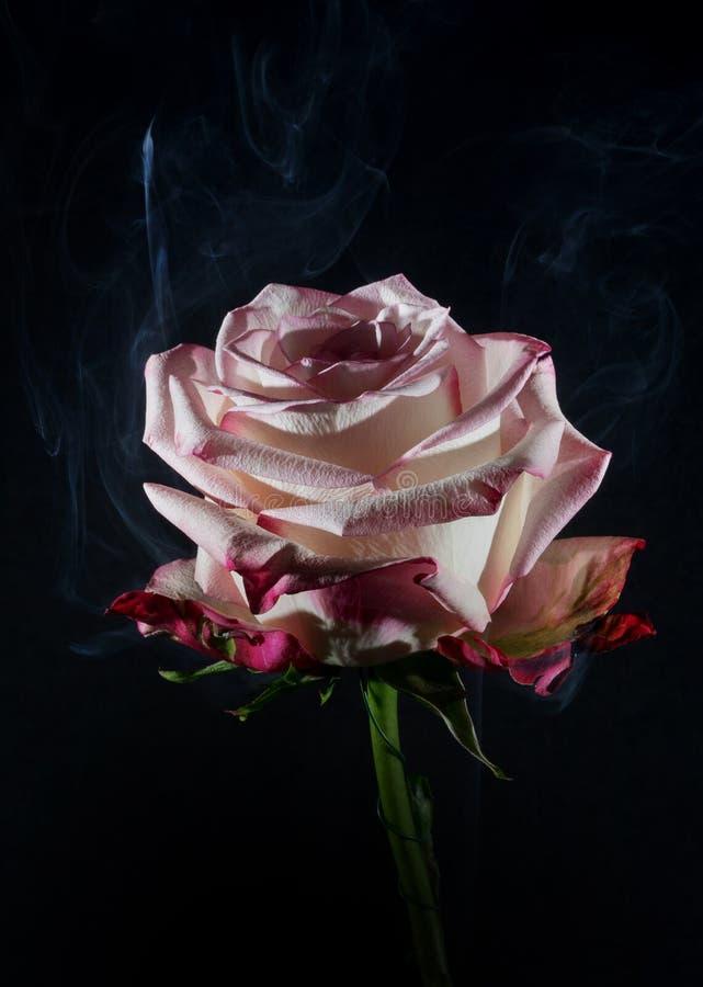 Rosarose mit Rauche stockfotos
