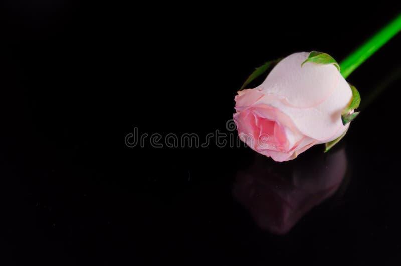 Rosarose mit schwarzem Hintergrund stockfotos