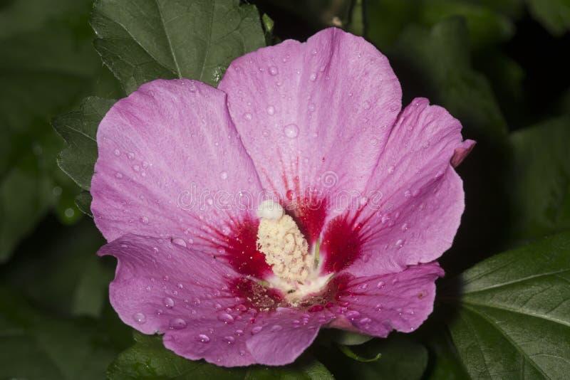 Rosarose von Sharon-Blume in Süd-Windsor, Connecticut stockfotos