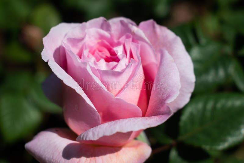 Rosaroseabschluß oben stockfotos