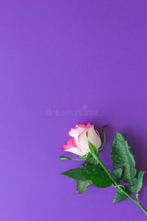Rosarosenblume auf einem violetten Hintergrund stockfotografie