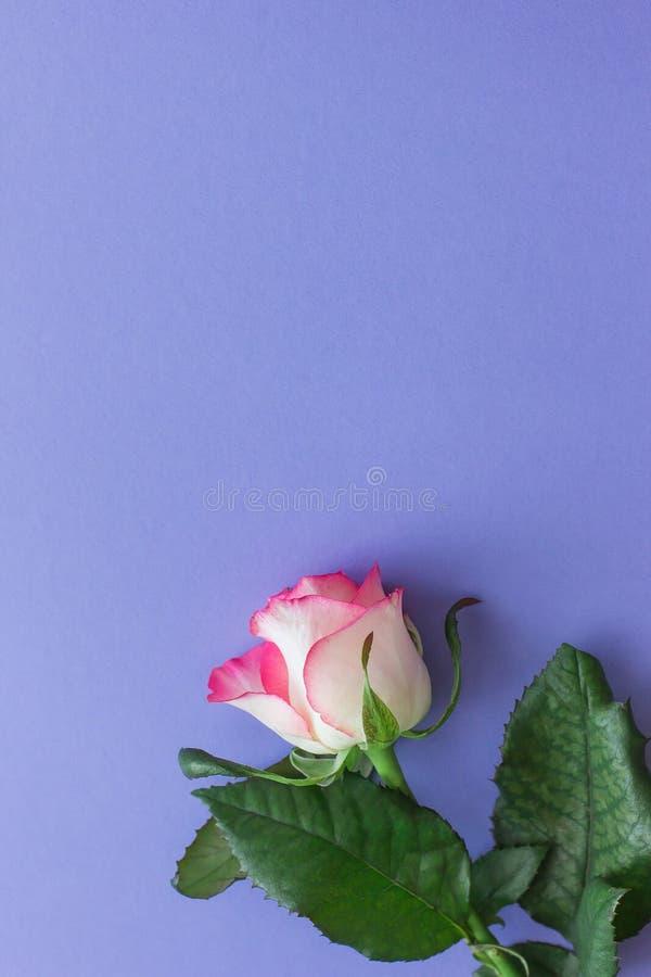 Rosarosenblume auf einer Draufsicht des lila Hintergrundes lizenzfreies stockfoto