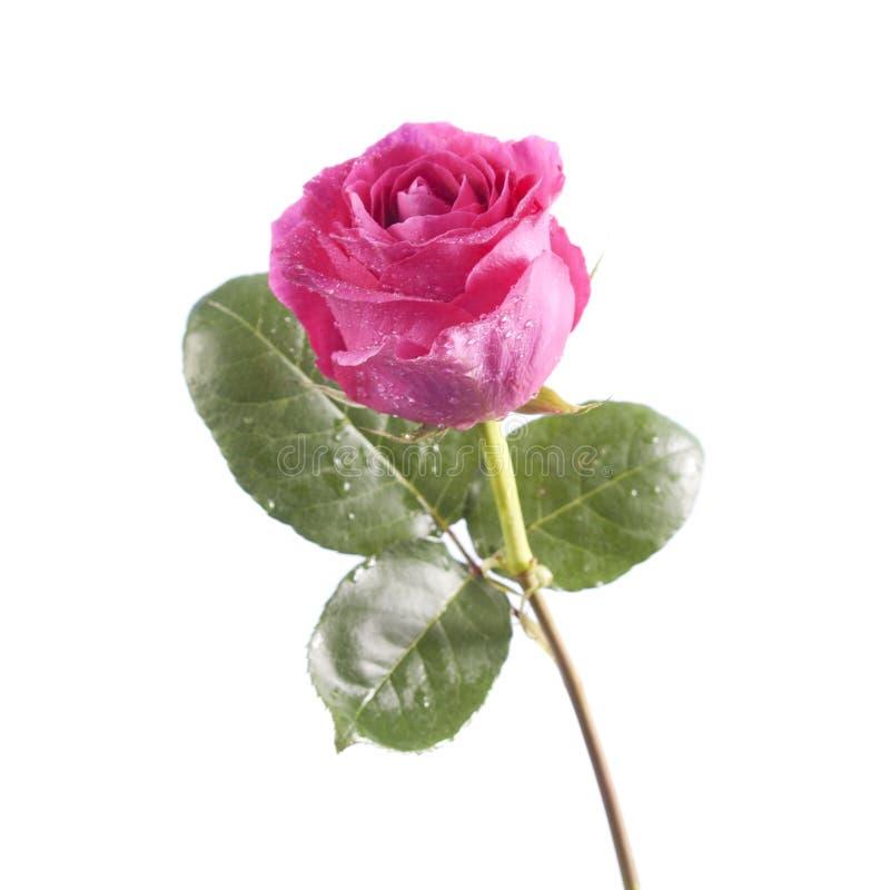 Rosarosenblume auf weißem Hintergrund stockfotos